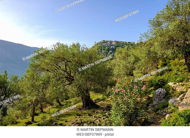 Albania, Vlore County, Olive grove near Himara, mountain village Qeparo
