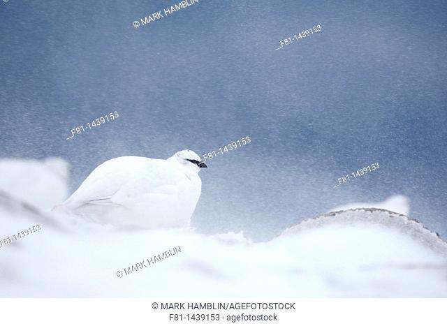 Ptarmigan Lagopus mutus male in winter plumage in snow blizzard, Grampian Mountains, Scotland, February 2010