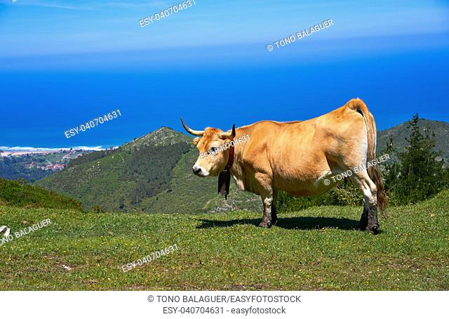Asturias cow in high mountain and sea in background of Spain