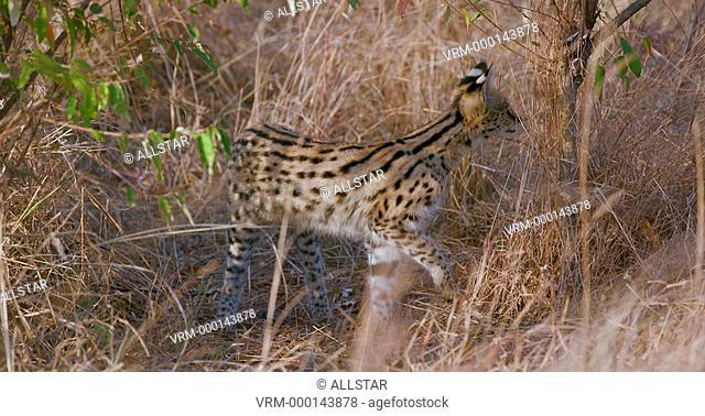 YOUNG SERVAL CAT IN LONG GRASS; MAASAI MARA, KENYA, AFRICA; 04/09/2016