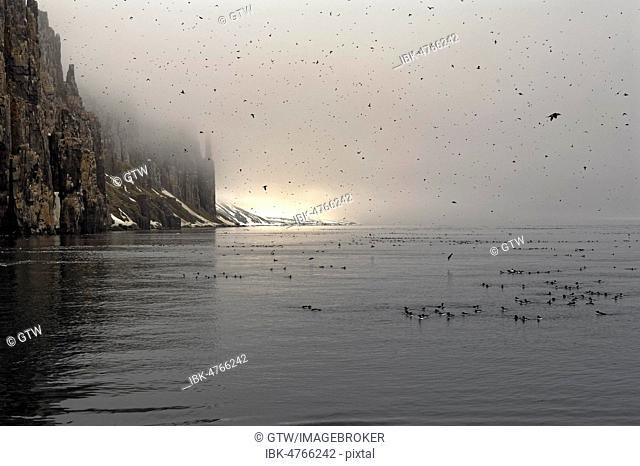 Thick-billed Murres (Uria lomvia), colony, Alkefjellet bird cliff, Hinlopen Strait, Spitsbergen Island, Svalbard archipelago, Norway
