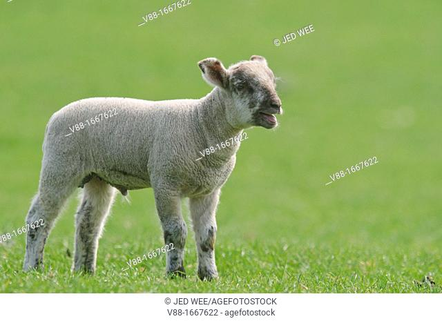 A young lamb calls out, domestic sheep, Ovis aries in a field in North Yorkshire, England