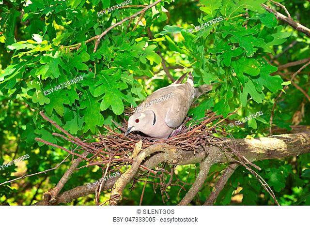 Pigeon bird. Nest of a bird in the nature. Wild pigeon incubates the eggs
