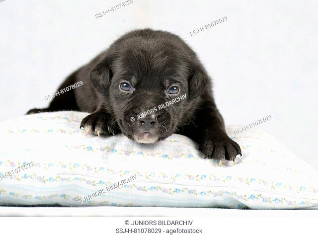 Mixed-breed dog. Puppy (4 weeks old) lying on a cushion. Studio picture against a white background. Germany