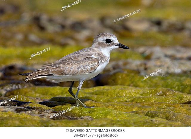 Lesser Sand Plover (Charadrius mongolus), standing in a swamp, Quryyat, Muscat Governorate, Oman