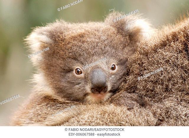Baby Koala - Kangaroo Island
