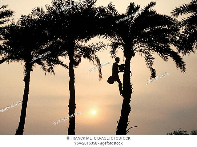 A man is collecting palm sap in a palm tree. Tarai region, Nepal