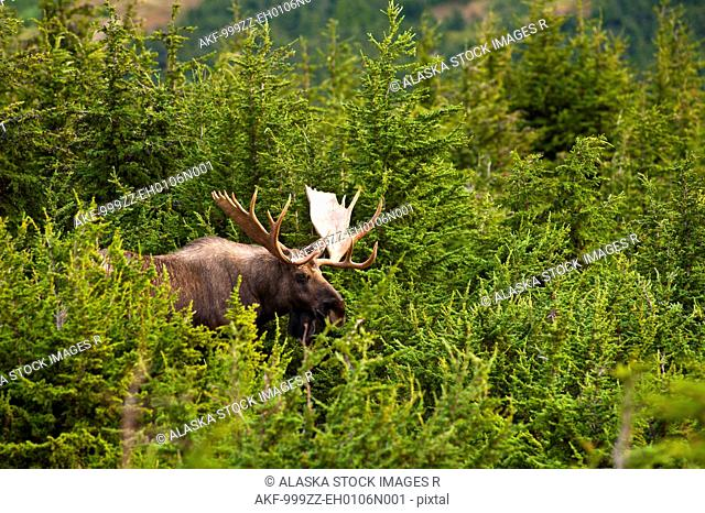 A bull moose in rut standing in a wooded area near Powerline Pass in Chugach State Park, Anchorage, Southcentral Alaska, Autumn