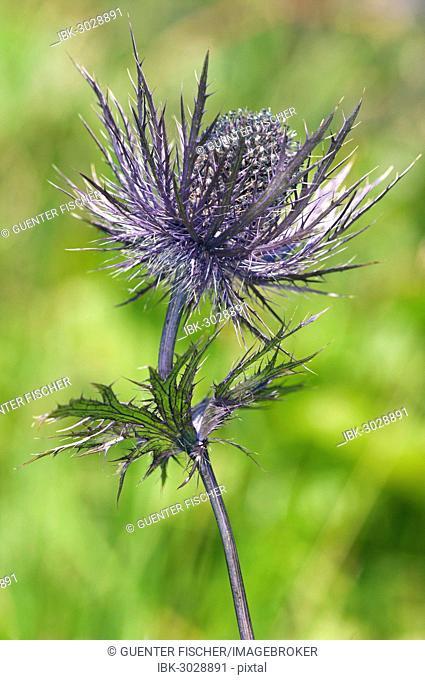 Alpine Sea Holly, Alpine Eryngo or Queen of the Alps (Eryngium alpinum), inflorescence, Malbun, Liechtenstein Alps, Triesenberg, Liechtenstein