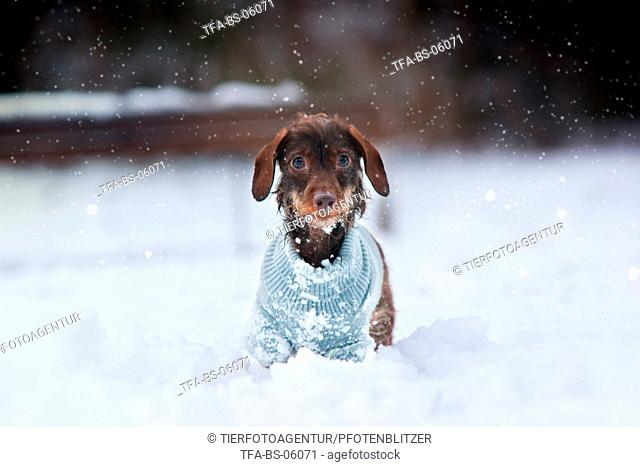 wirehaired Dachshund in snow