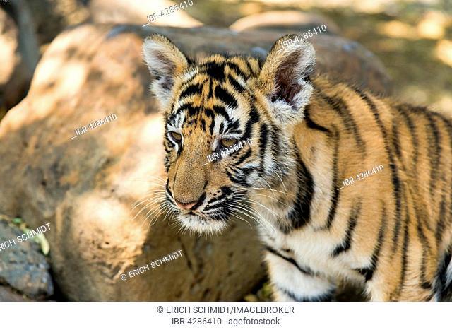 Bengal tiger (Panthera tigris tigris), young, 3 months, captive
