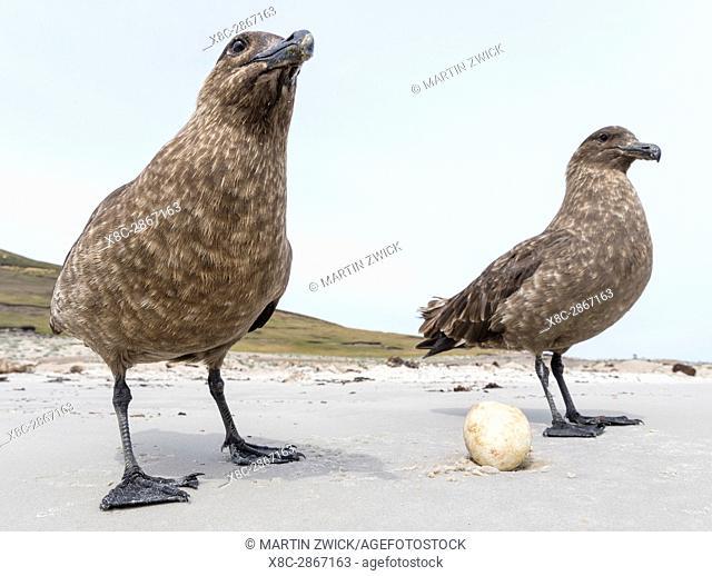 Falkland Skua or Brown Skua (Stercorarius antarcticus, exact taxonomy is under dispute), feeding on an egg of a Gentoo Penguin