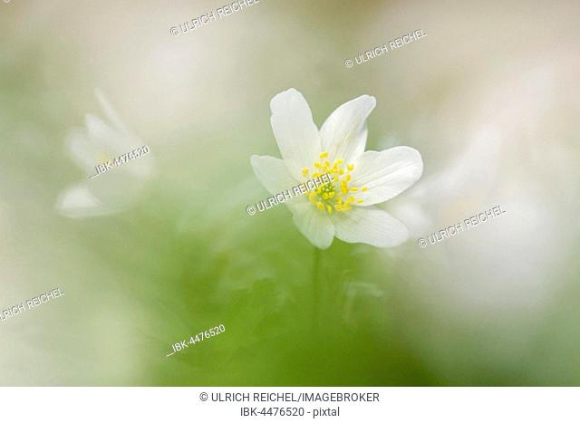 Wood anemone (Anemone nemorosa), Thuringia, Germany
