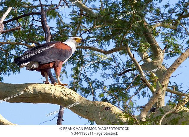 African Fish Eagle Haliaeetus Vocifer  Nyamithi pan  May, Winter 2009  Ndumo Game Reserve, Kwazulu-Natal, South Africa