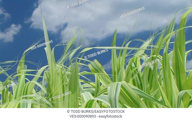 Grass blowing against sky with clouds