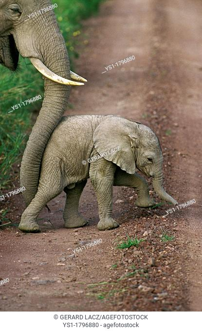 African Elephant, loxodonta africana, Mother pushing Calf with Trump, Amboseli park in Kenya