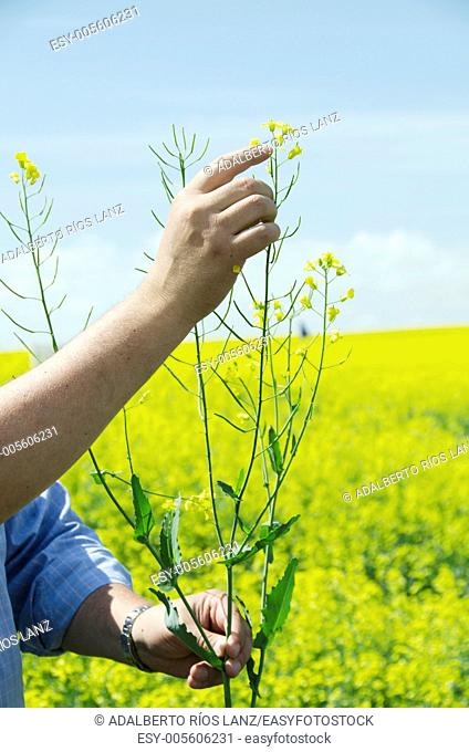 A farmer holds a canola plant pointing at its flowers