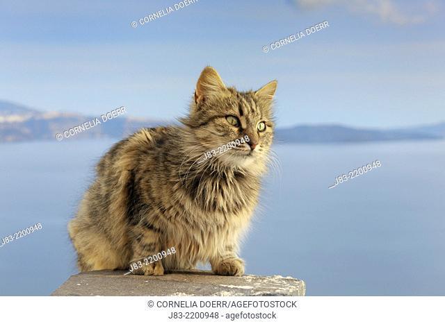 Tabby cat sitting on chimney against blue sea, long hair, Oia village, Santorini, Cyclades Island, Greek Islands, Greece, Europe
