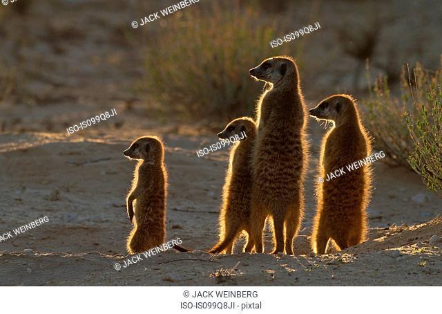 Meerkats catching the morning sun, Kgalagadi Transfrontier Park, Africa