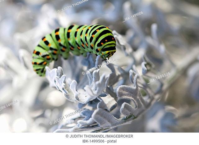Old World Swallowtail (Papilio machaon), caterpillar