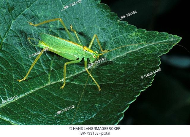 Oak Bush Cricket or Drumming Katydid (Meconema thalassinum), male