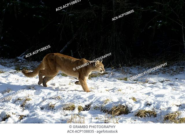 Cougar, Puma concolor, along forest edge in winter, Montana, USA