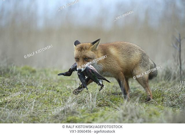 Red Fox (Vulpes vulpes) hunting, with prey in its muzzle, grabbed, carrying a duck with its jaws, wildlife, Germany, Europe