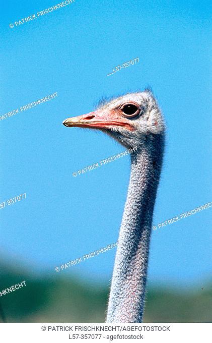 Ostrich (Struthio camelus). Etosha National Park. Namibia