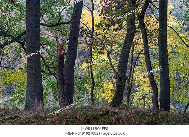 Oaks in autumn at Ahlhorner Fischteiche, Lower Saxony, Germany / Eichen im Herbst an den Ahlhorner Fischteichen, Niedersachsen, Deutschland
