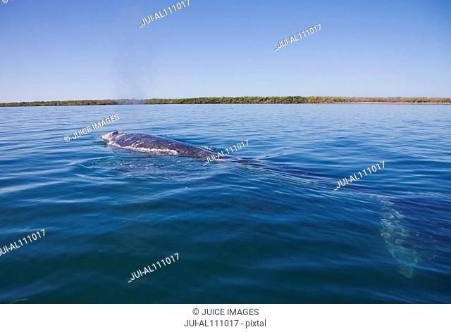 Gray Whale, Eschrichtius robustus, Boca de la Soledad, Baja California Sur, Mexico