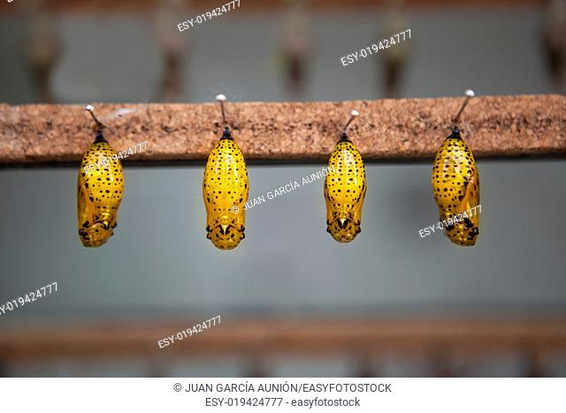 Four yellow pupas is hanging from pins