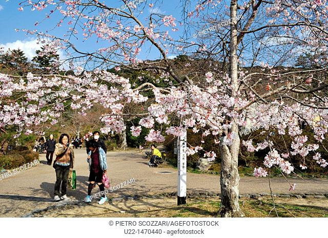 Kyoto (Japan): blossoming cherry tree in Maruyama park, during Spring