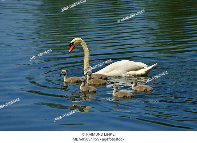 Mute Swan with Cygnets in the Spring, Nature Reserve Taubergiessen, Kappel, Rust, Baden-Wurttemberg, Germany