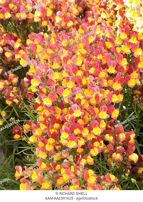 Baby Snapdragon or Morocco Toadflax, Linaria Fantasy Scarlet with Yellow Eye