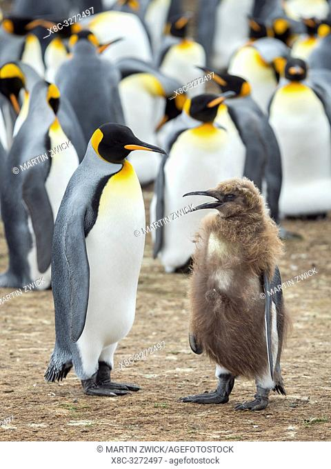 Feeding a chick in brown plumage. King Penguin (Aptenodytes patagonicus) on the Falkland Islands in the South Atlantic. South America, Falkland Islands, January