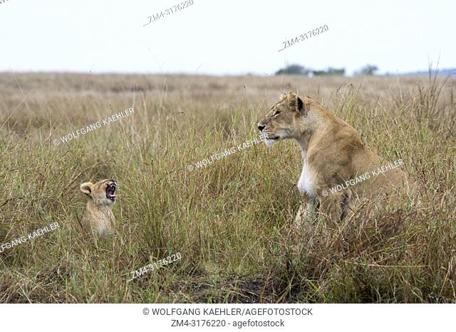 A lioness (Panthera leo) with a yawning cub in the high grass in the Masai Mara National Reserve in Kenya