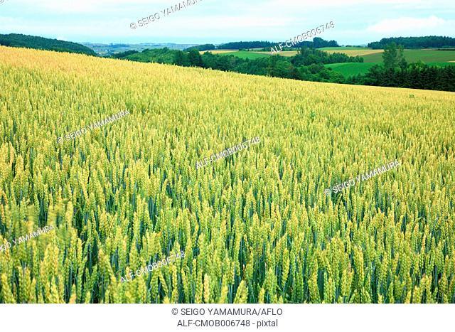 Wheat field in Biei, Hokkaido