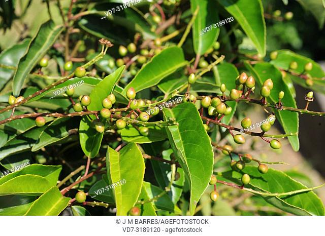 Portugal laurel (Prunus lusitanica) is a evergreen small tree native to Macaronesia (Canary Islands, Azores and Madeira) and in a few locations in Iberian...
