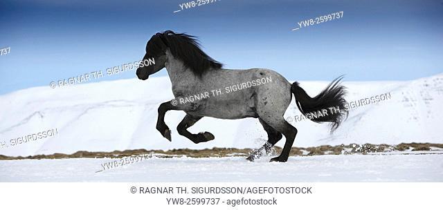 Icelandic Horse running, Iceland
