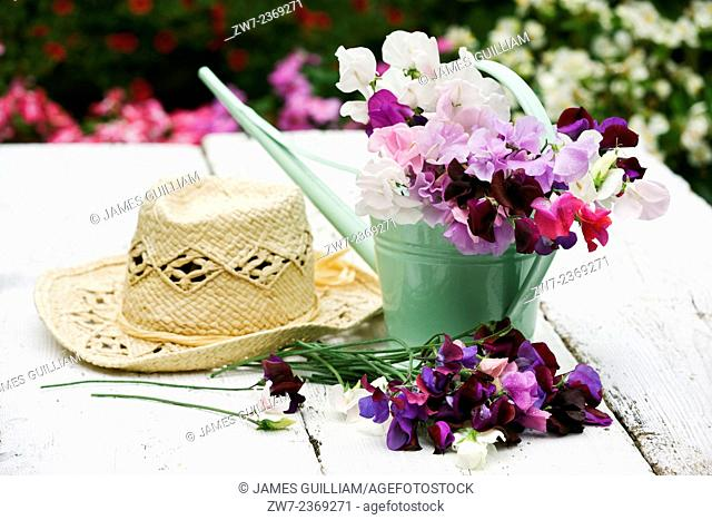 Sweet Peas Lathyrus odoratus in a small metal watering can with hat on a rustic wooden table outdoors