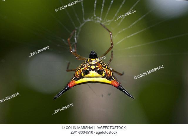 Crablike Spiny Orbweaver Spider (Araneae order, Araneidae family, Gasteracantha cancriformis), on web, Klungkung, Bali, Indonesia