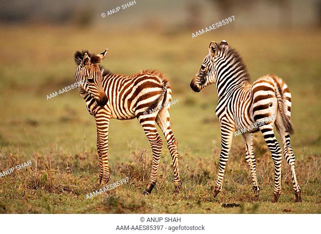 Common or Plains Zebra foals (Equus quagga burchellii). Maasai Mara National Reserve, Kenya. Mar 2009
