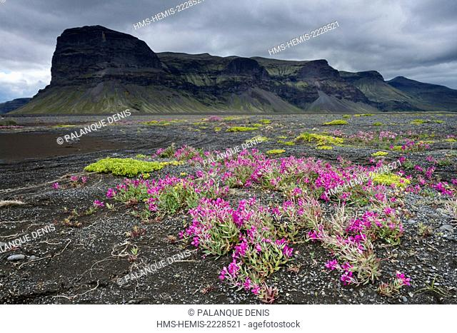 Iceland, South coast, Myrdalssandur, arctic Epilobe in front of the cliff Lomagnupur