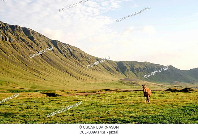 Front view of horse in front of hills, Hvalfjordur, Iceland