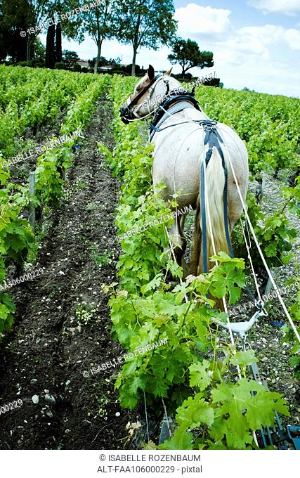 Horse plowing in vineyard