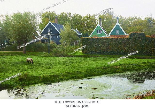 Rural scene with traditional Dutch timber houses, a sheep grazing and canal, Netherlands