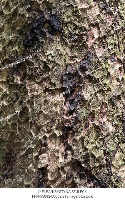 Sawarri Caryocar nuciferum close-up of bark, Iwokrama Rainforest, Guiana Shield, Guyana, october