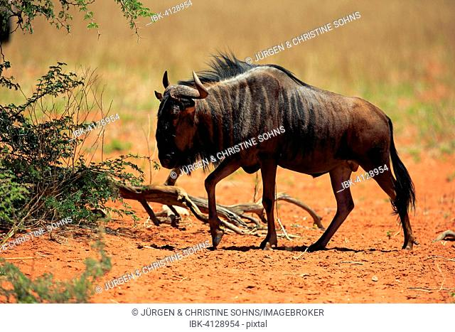 Blue Wildebeest (Connochaetes taurinus), adult, Tswalu Game Reserve, Kalahari Desert, North Cape, South Africa