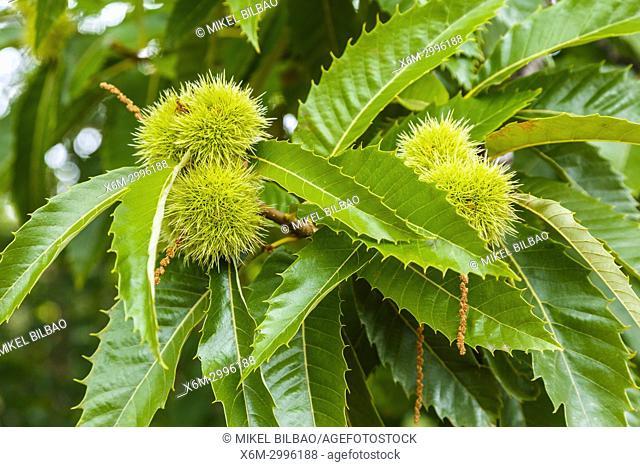 Leaves and chestnuts. Sweet chestnut (Castanea sativa). Antoñana, Campezo. Cuadrilla de Campezo-Montaña Alavesa. Alava, Basque Country, Spain, Europe
