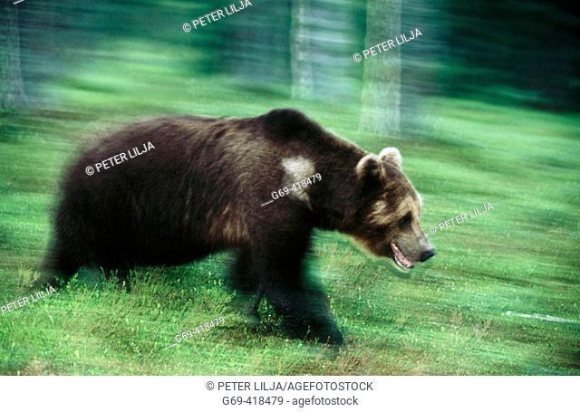 Brown bear (Ursus arctos). Running in the pineforest. Suomussalmi. Finland